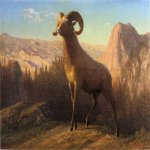 Albert Bierstadt (1830-1902)  A Rocky Mountain Sheep, Ovis, Montana  Oil on paper mounted on board, c.1879  13 5/8 x 19 inches (34.92 x 48.26 cm)  Public collection